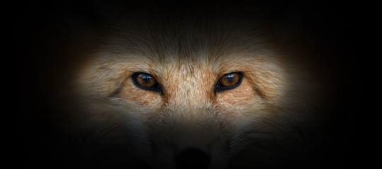 Wall Mural - Red fox portrait on a black background