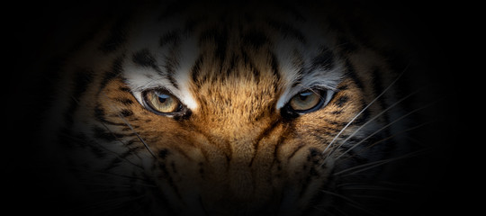 Foto op Plexiglas Tijger Tiger portrait on a black background