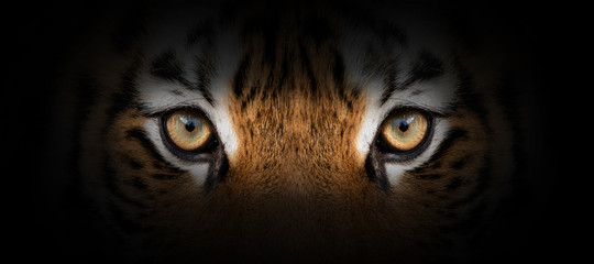Spoed Fotobehang Tijger Tiger portrait on a black background