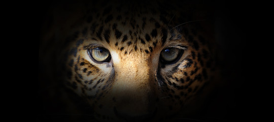 Leopard portrait on a black background