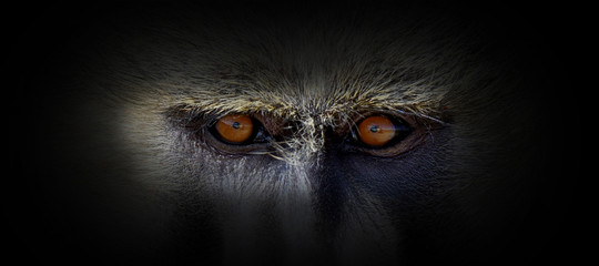 Poster de jardin Singe Monkey portrait on a black background