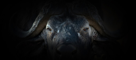 Spoed Fotobehang Buffel Buffalo portrait on a black background