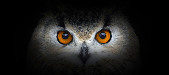 Poster Uil Owl portrait on a black background