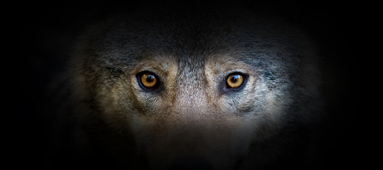 Foto op Aluminium Wolf Wolf portrait on a black background