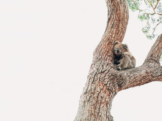 A wild koala on a tree looking for help after the bushfires in Australia