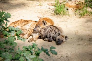 Fotobehang Hyena Spotted hyena lying with baby. Crocuta crocuta.