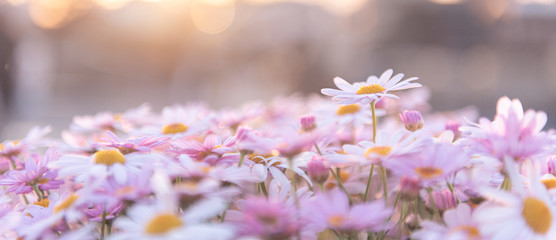 Flowering of white purple daisies with sunlight and bokeh background ,Gardening concept ,panorama
