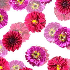 Fototapete - Beautiful floral background of zinnias and dahlias. Isolated