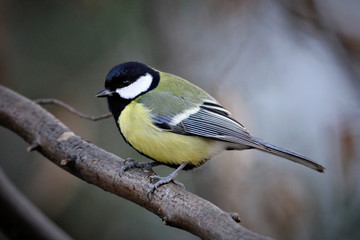 Printed roller blinds Bird Great Tit