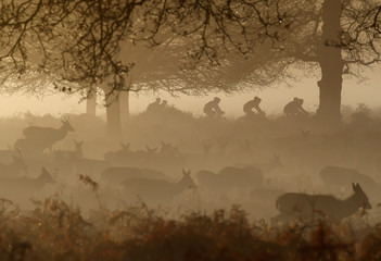 Deer are seen grazing as cyclists ride past in the early morning mist in Richmond Park, west London