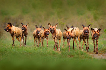 Wild dog, pack walking in the forest, Okavango detla, Botseana in Africa. Dangerous spotted animal with big ears. Hunting painted dog on African safari. Wildlife scene from nature, painted wolfs.