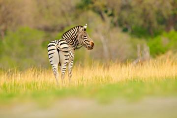 Fotomurales - Zebra with yellow golden grass. Burchell's zebra, Equus quagga burchellii, Nxai Pan National Park, Botswana, Africa. Wild animal on the green meadow. Wildlife nature on African safari.