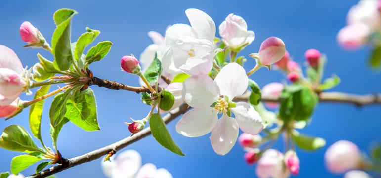 beautiful apple tree blossom in spring