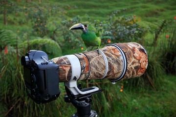 Camera with big telephoto lens and tropic bird. Small toucan sitting on the photographic equipment in the nature habitat. Photography trip i the Colombia, birdwatching in the tropic forest, Toucanet.