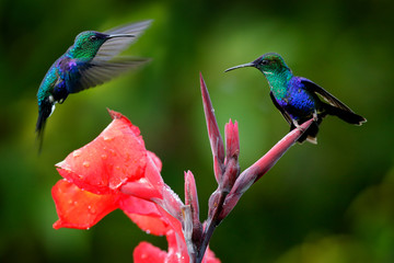 Hummingbirds from in the red bloom flower, Santa Marta, Colombia. Wildlife from tropic jungle. Violet Crowned Woodnymph, Thalurania colombica in habitat, green nature forest, two birds fight.