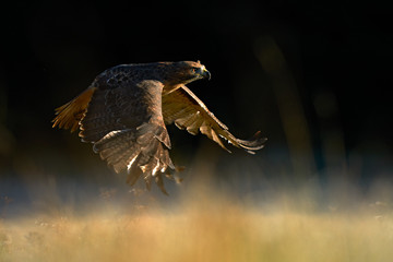 Suset with hawk. Flying bird of prey above the field meadow, Red-tailed hawk, Buteo jamaicensis, landing in the forest. Wildlife scene from nature.