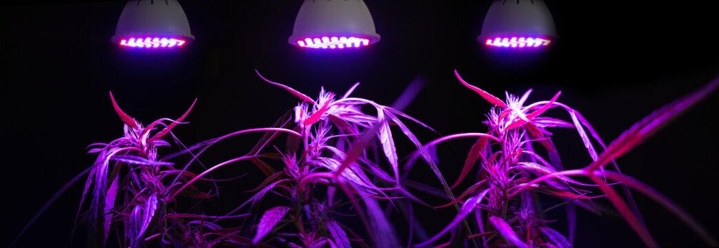 Plant sapling cannabis growing with LED grow light