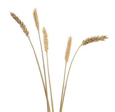 Dry wheat ears, crops isolated on white background