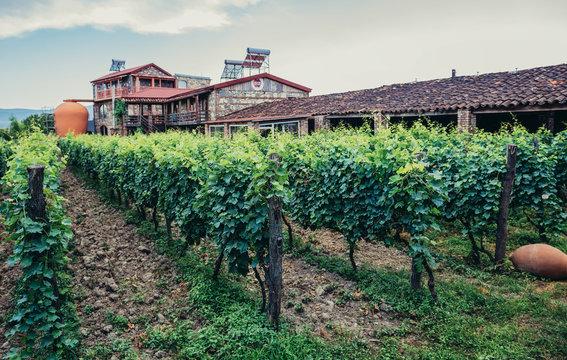 Napareuli, Georgia - July 19, 2015. Green vine grapes in vineyard located in Napareuli village