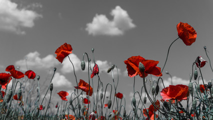 Poster Poppy Desaturated Poppy flower filed, papaver rhoeas poppy in daylight M