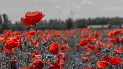 Photo sur Toile Poppy Desaturated Poppy flower filed, papaver rhoeas poppy in daylight M