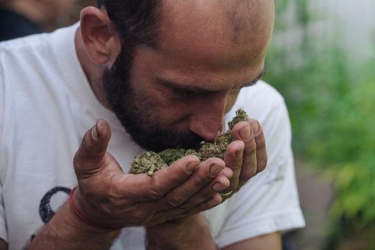 Man Smelling Buds Of Fresh Cannabis.