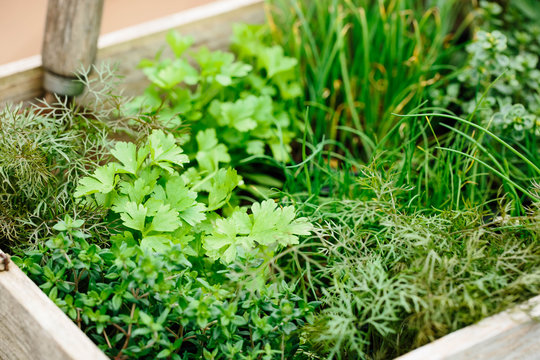 A box of young herb plants ready for planting.