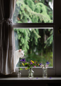 White cat looking from outside at flowers in glass bottles on the inside on windowsill