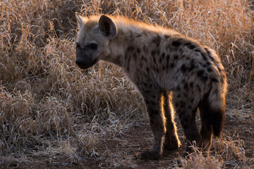 Young spotted hyena in Krueger National Park