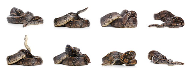 Photos of boa constrictor on white background, collage Wall mural