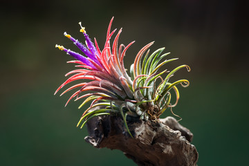 Beautiful air plant flowers in the garden