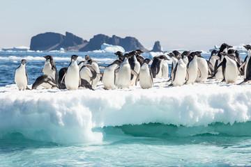 Adele penguin in Antarctica