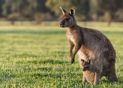 A western grey kangaroo with joey looking out of the pouch, Macropus fuliginosus, subspecies Kangaroo Island kangaroo.