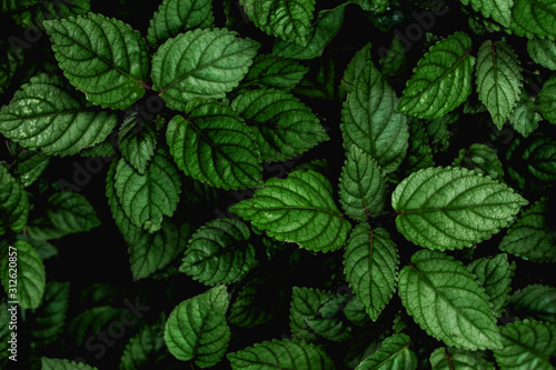 Wall mural abstract green leaves texture, nature background, dark tone wallpaper