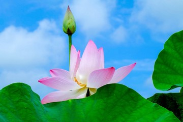 Garden Poster Lotus flower Very beautiful pink Indian lotus flowers have bloomed, with green leaves that look very fresh and make this flower look more beautiful. A charming evening with the scent of a charming plant.