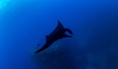 Black Manta Ray at Islas Revillagigedos, Mexico
