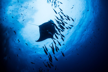 Manta Ray at Islas Revillagigedos, Mexico