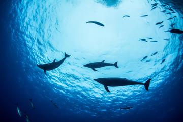 Bottlenose Dolphin during a scuba dive in Mexico