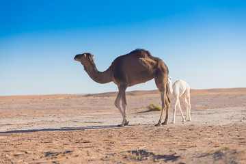 Poster Kameel Baby camel and mother camel in Sahara desert among the small sand dunes, beautiful wildlife near oasis. Camels walking in the desert in Morocco. Brown female trampler with white cub. One-humped camels