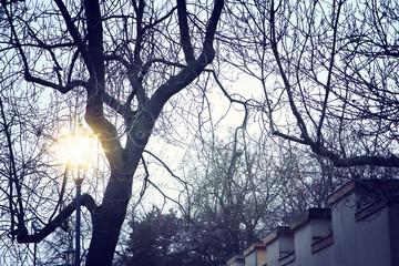 Fototapeta Vintage street lamp and bare trees at winter twilight