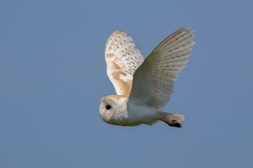 Barn Owl Flying Fotomurales