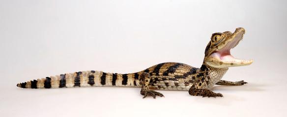 Garden Poster Crocodile Spectacled caiman / Krokodilkaiman / Nördlicher Brillenkaiman (Caiman crocodilus)