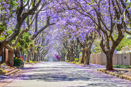 Purple blue Jacaranda mimosifolia bloom in Johannesburg and Pretoria street during spring in October in South Africa