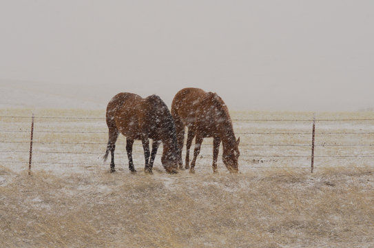 Two ranch horses graze during a snow squall.