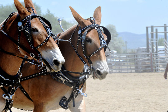 Two matching draft mules in harness.