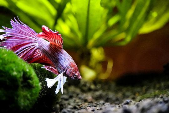 Betta fish swimming in aquarium