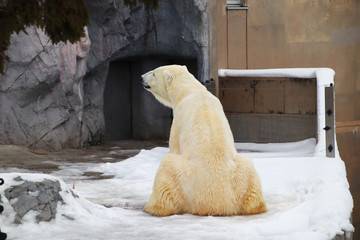 Deurstickers Ijsbeer The slightly yellowed polar bear is still so powerful