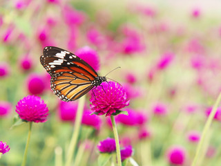 Wall Mural - Close up orange butterfly on pink Amaranth flower fields.
