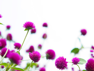 Wall Mural - Amaranth flowers field isolated on white background.