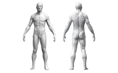 Human body anatomy of a man in two views isolated in white background - 3d render